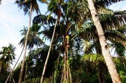 Le papa d'Atonk, à 6m du sol, qui change le bambou récoltant la sève du palmier pour en faire du sucre. Impressionnant !
